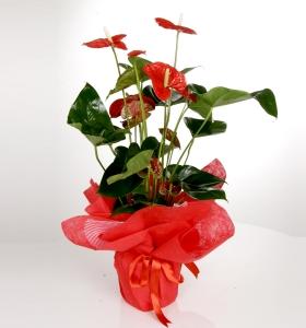 Adana İçin  Anthurium Bitki