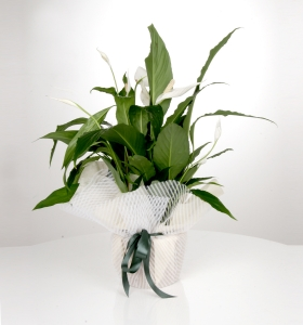Spatifiliım - Barış Çiçeği