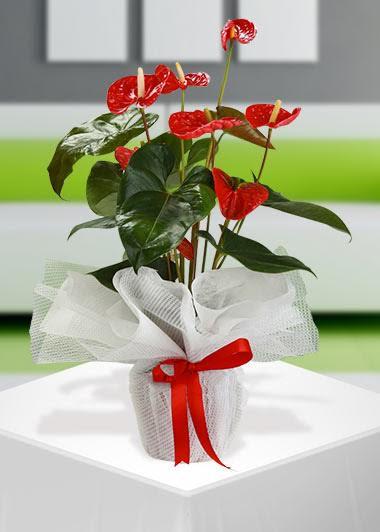 Kırmızı Antorium Saksı Çiçeği