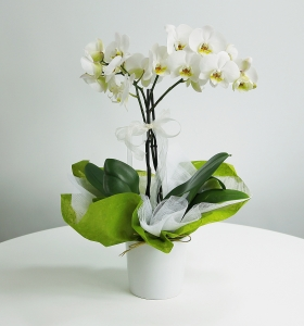 Düşler Perisi Orkide